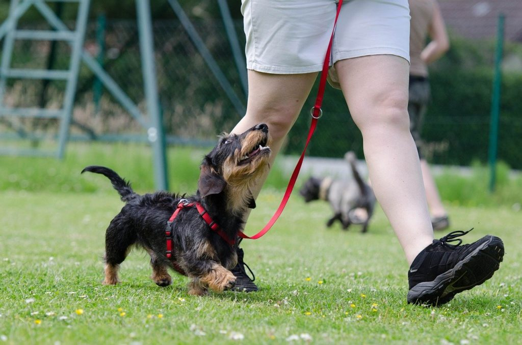 dachshund, dog school, dog training