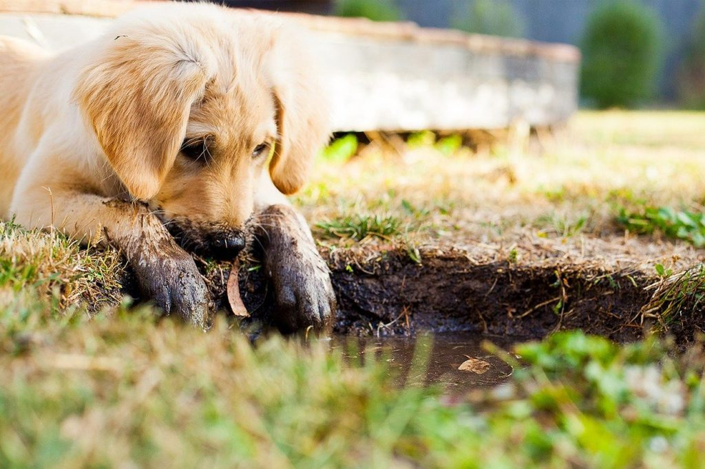 puppy, muddy puppy, puppy playing