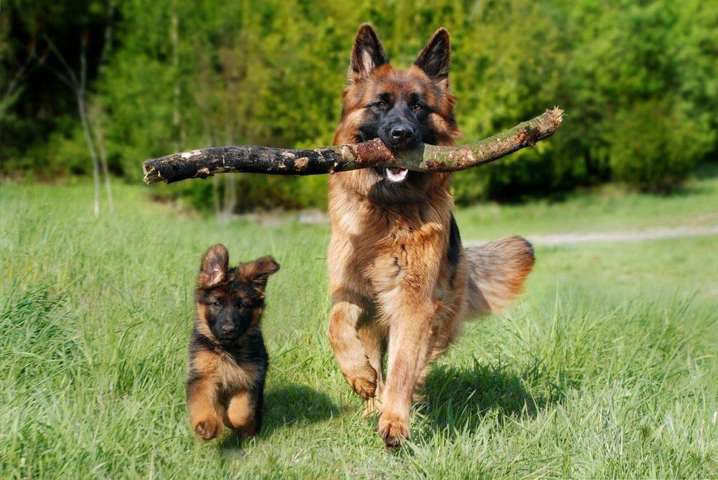 schäfer dog, puppy, dog