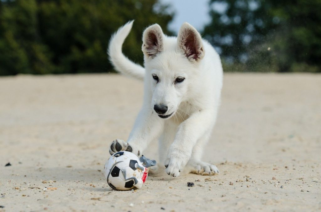 white shepherd, puppy, dog puppy