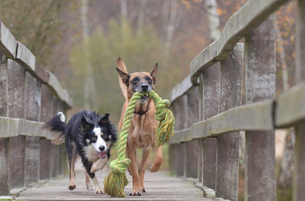 malinois and border collie, belgian shepherd dog, playing dogs