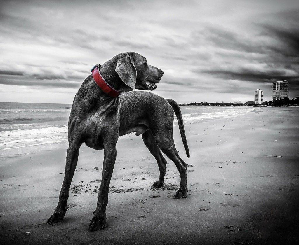 weimaraner, dog, beach