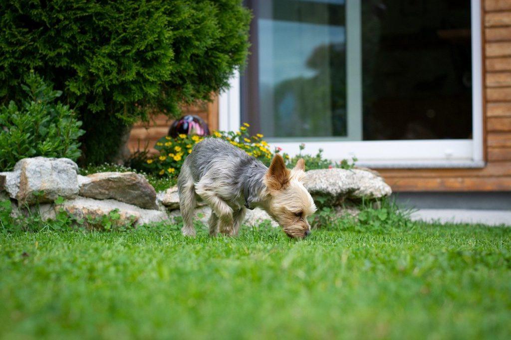 dog, small, yorki