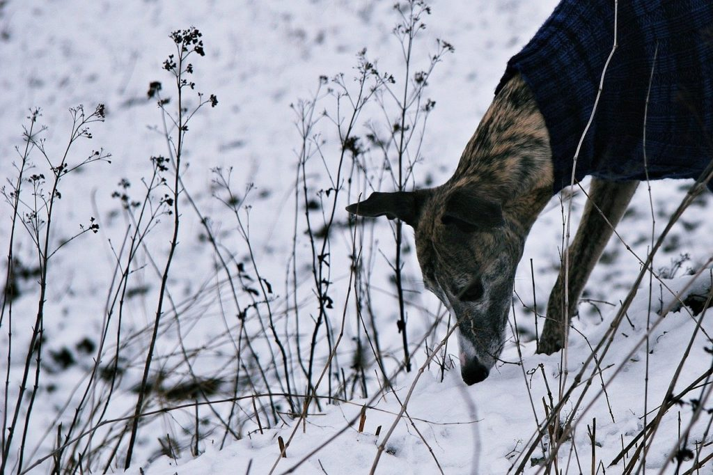 dog, snow, hunt