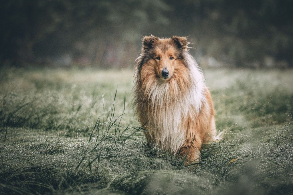rough collie, dog, meadow