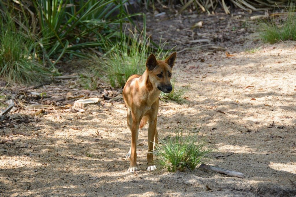 dingo, dog, animal