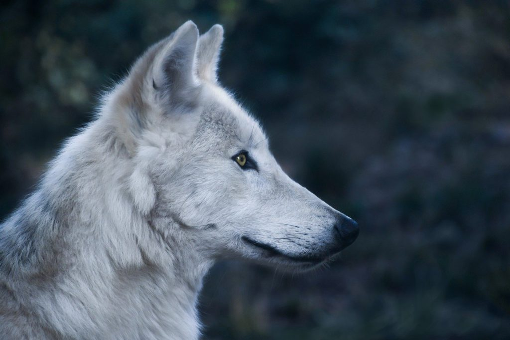 wolf, head, profile