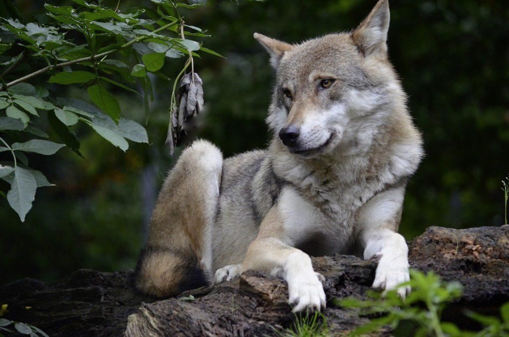 wolf, isegrim, predator