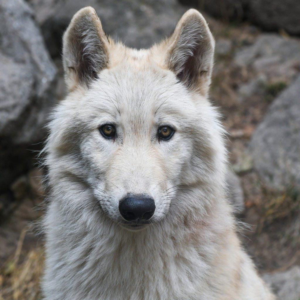 wolf, portrait, predator