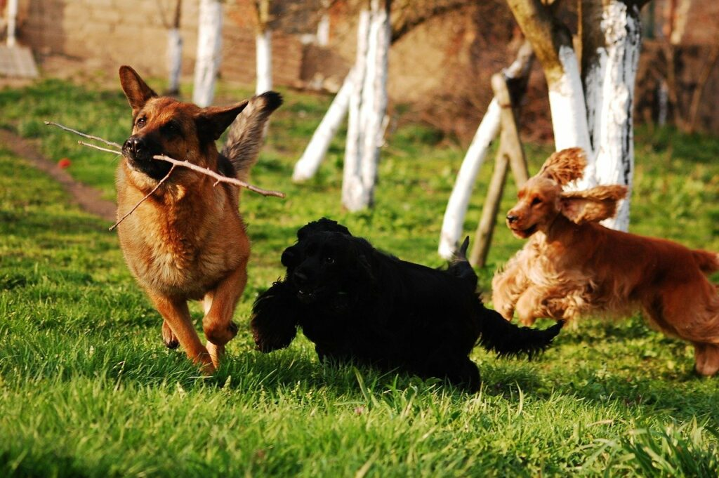 dog, dogs, herd
