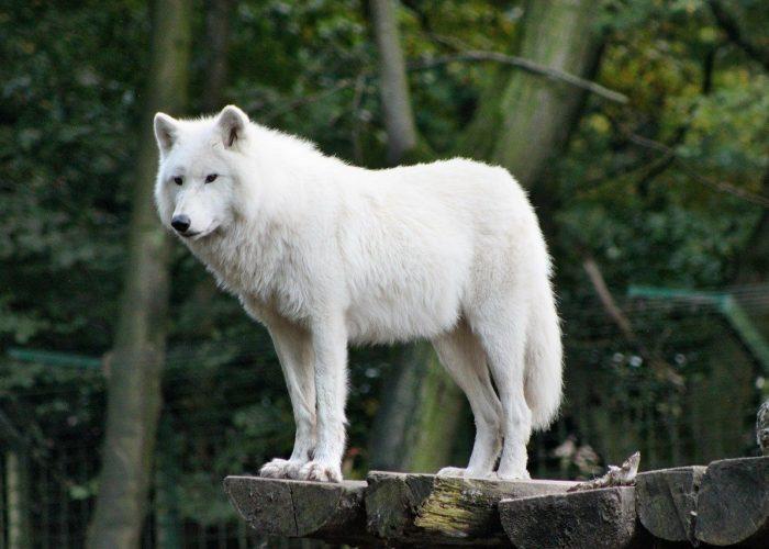 zoo, wolf, wild
